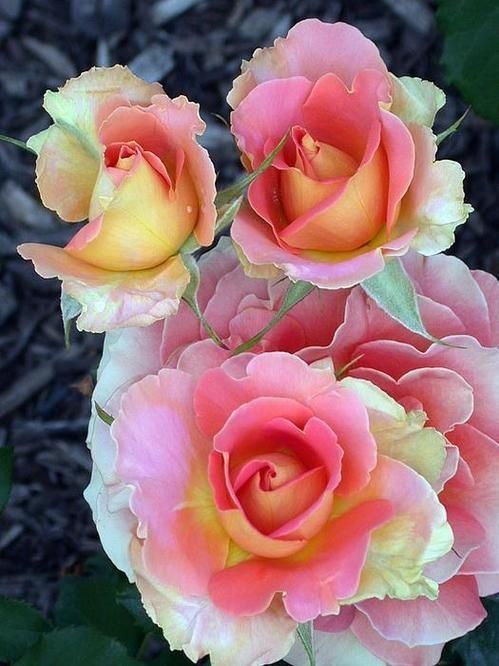 'Brass Band' Rose
