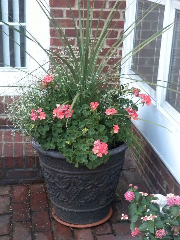 25 Best Ideas About Geranium Plant On Pinterest Fall Potted