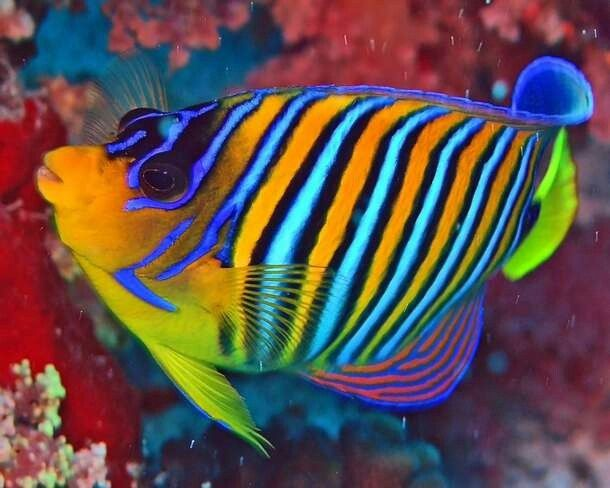 70 best images about Pretty Fish on Pinterest   Red sea ...