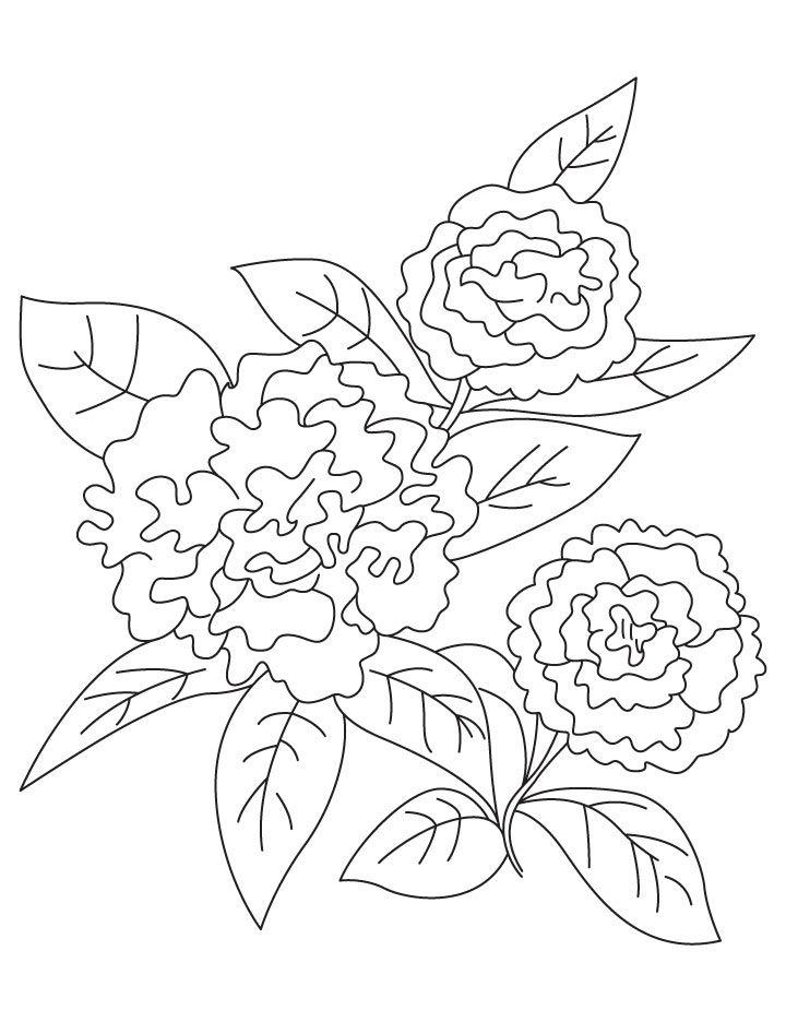 1000+ ideas about Dianthus Caryophyllus on Pinterest