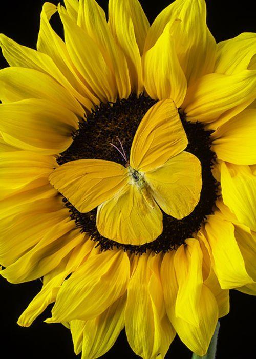 Hd Wallpapers Butterflies Widescreen Yellow Butterfly On Sunflower Greeting Card The Church