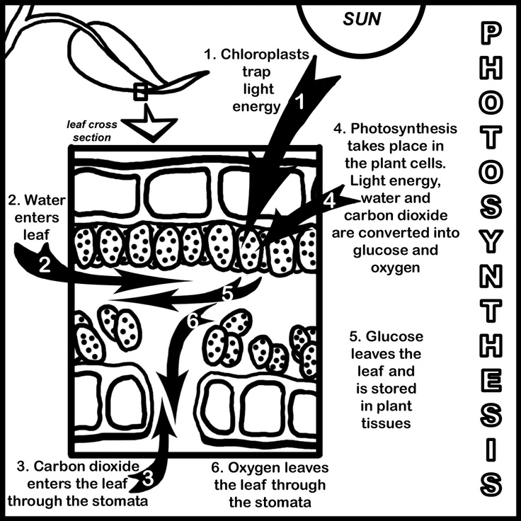 67 best images about Photosynthesis, Respiration, and