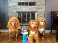 Sparky's halloween costume Pit bull lions   Dogs in ...