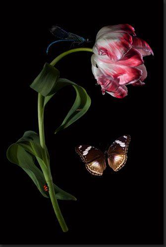 tulpen-tulips