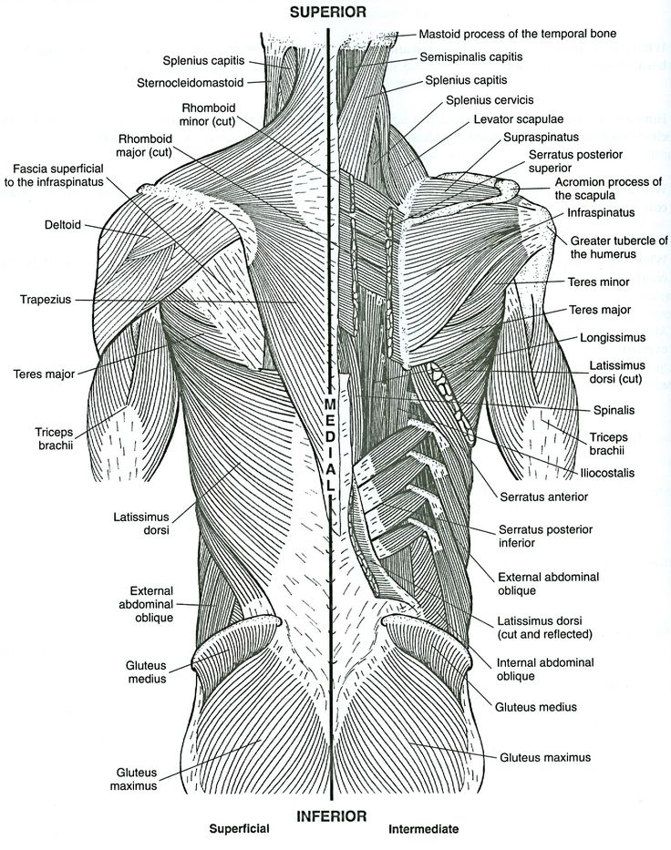 55 best images about anatomy of muscles on Pinterest