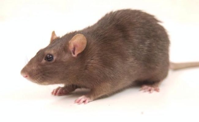 Brown Rat Google Search Nature Pinterest Discover