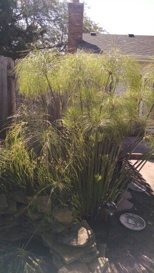 16 Best Images About King Tut Grass On Pinterest Cyperus