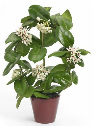 Kamerplant witte bloemen  Potplanten buiten schaduw