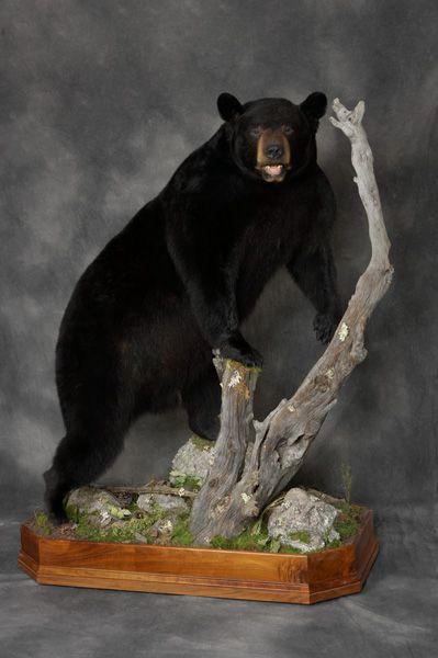 Black bear  Dreaming  Pinterest  Black Bear Bears and