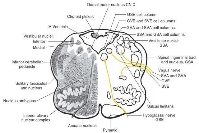 1000+ ideas about Central Nervous System on Pinterest