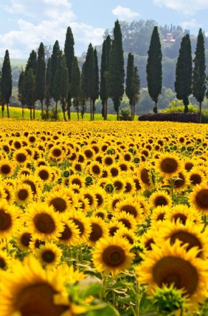 Don't you just want to run through the rows of sunflowers? Tuscan Sunflower Field. #Italy #travel #PaddlePakKidsUS: