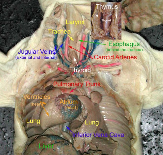 fetal pig reproductive system diagram 2003 chevy wiring diagrams thoracic cavity | pinterest cavities and