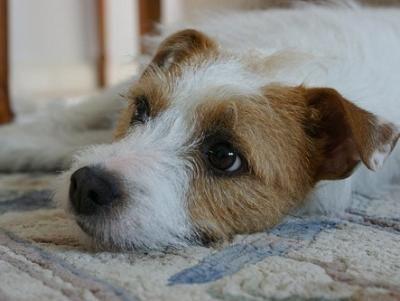 Best 25 Parson Russell Terriers Ideas On Pinterest