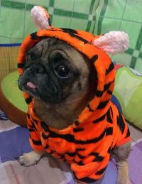 384 best images about Pugs in Disguise on Pinterest | Dog ...