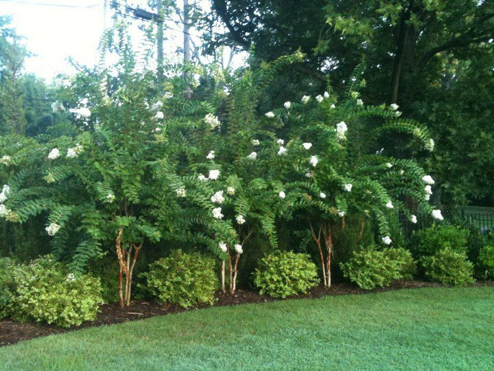 Natchez Crape Myrtles And Goldmound Spirea In A Teacup Garden