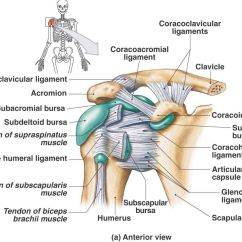 Hip Joint Diagram 1997 Ford Ranger Wiring Anterior Aspect Of The Shoulder Including Ligaments And