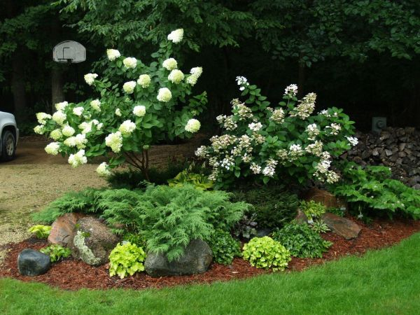 landscaping hydrangeas with evergreens