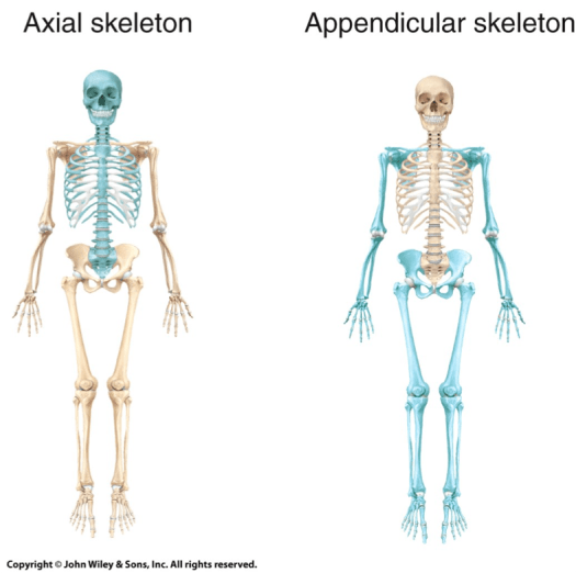 Human Anatomy Appendicular Skeleton – Periodic & Diagrams Science