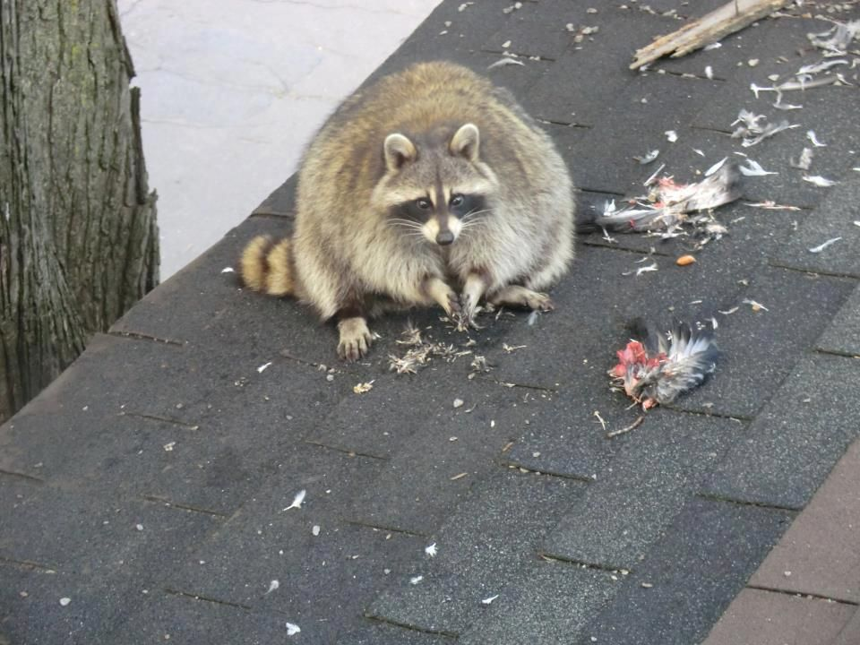 Fat Raccoon Feasting Imgur Animals Pinterest