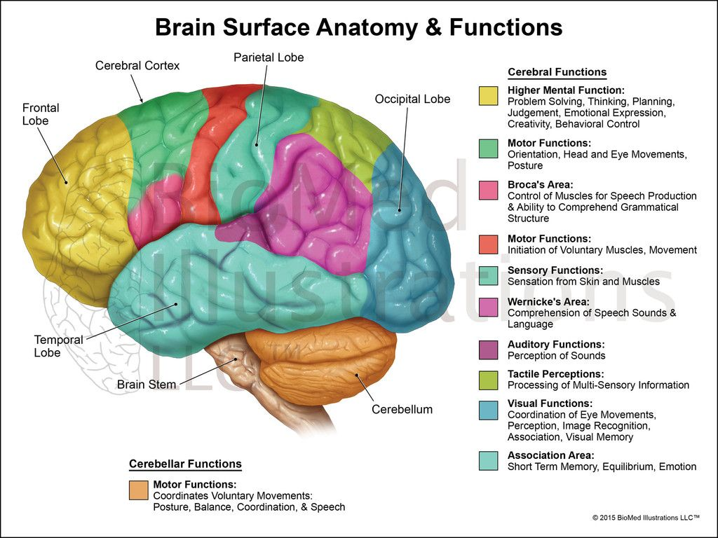 Brain Functions Lateral View Biomed Illustrations Llc