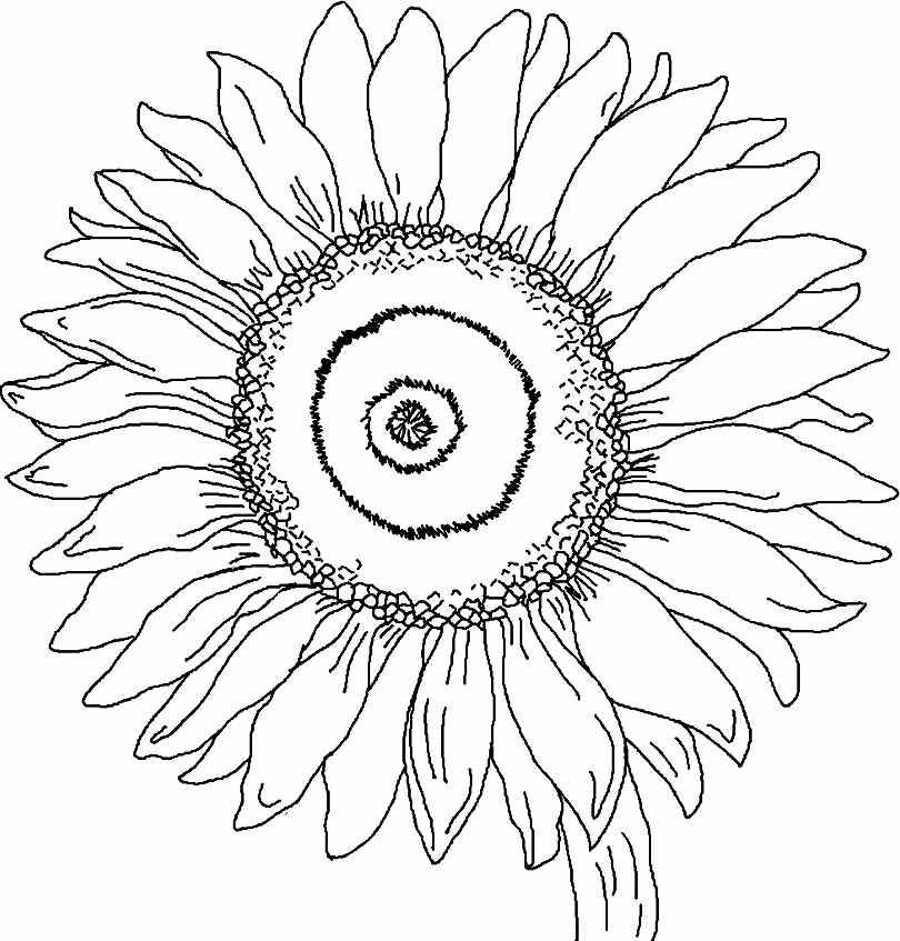 Print Full Size Image : Printable Free Sunflower Flowers
