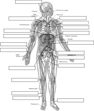 Circulatory System Diagram Worksheet   arteries_labeljpg