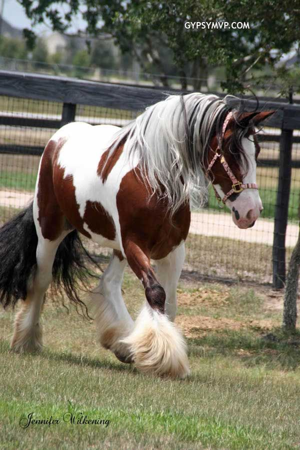 Gypsy Vanner Horses for Sale Mare Tri Colored