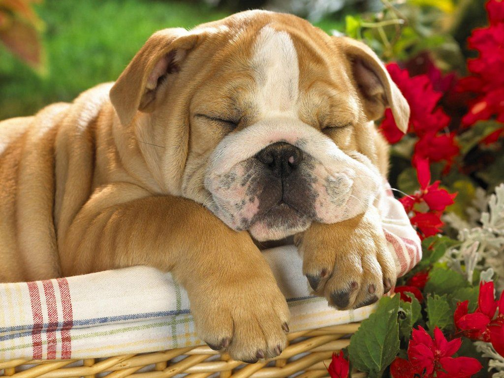 funny dog sleeping pinnedhttp://barkingstud | sleepy dog