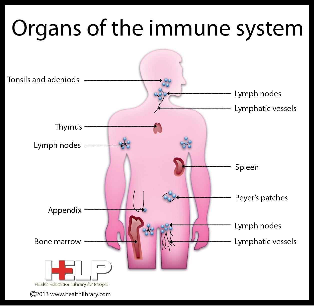 immune system diagram inductive proximity sensor wiring organs of the pinterest