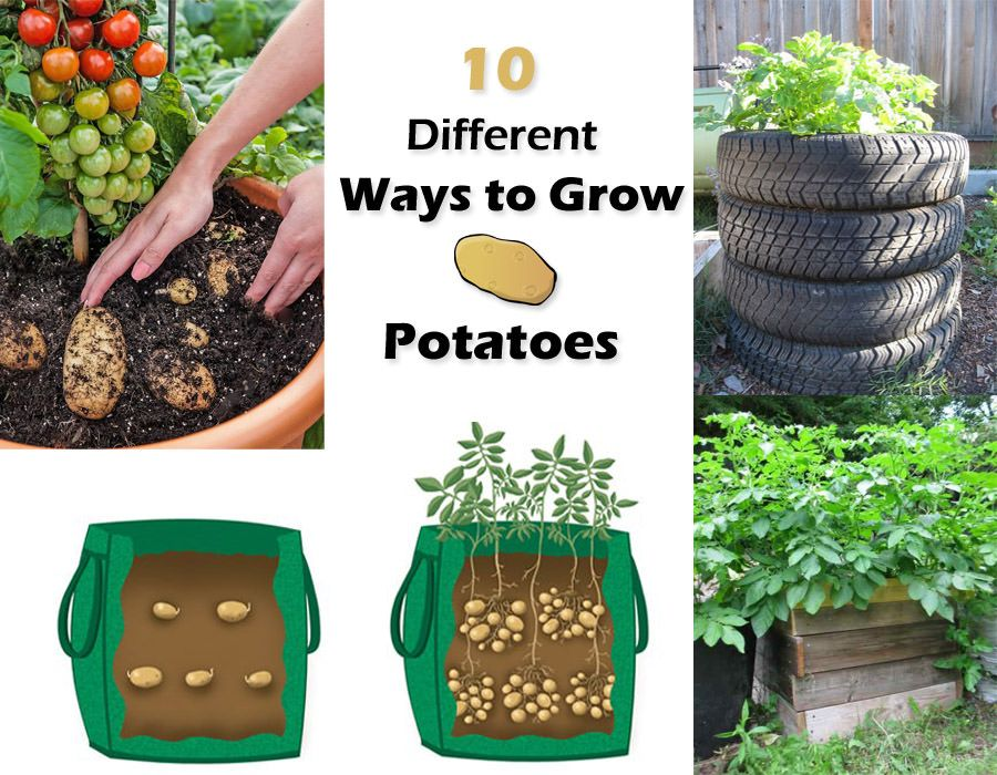 how to sprout potatoes for seed