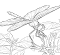 Dragonfly coloring pages for adults yellow winged darter desktop page to print hd pics