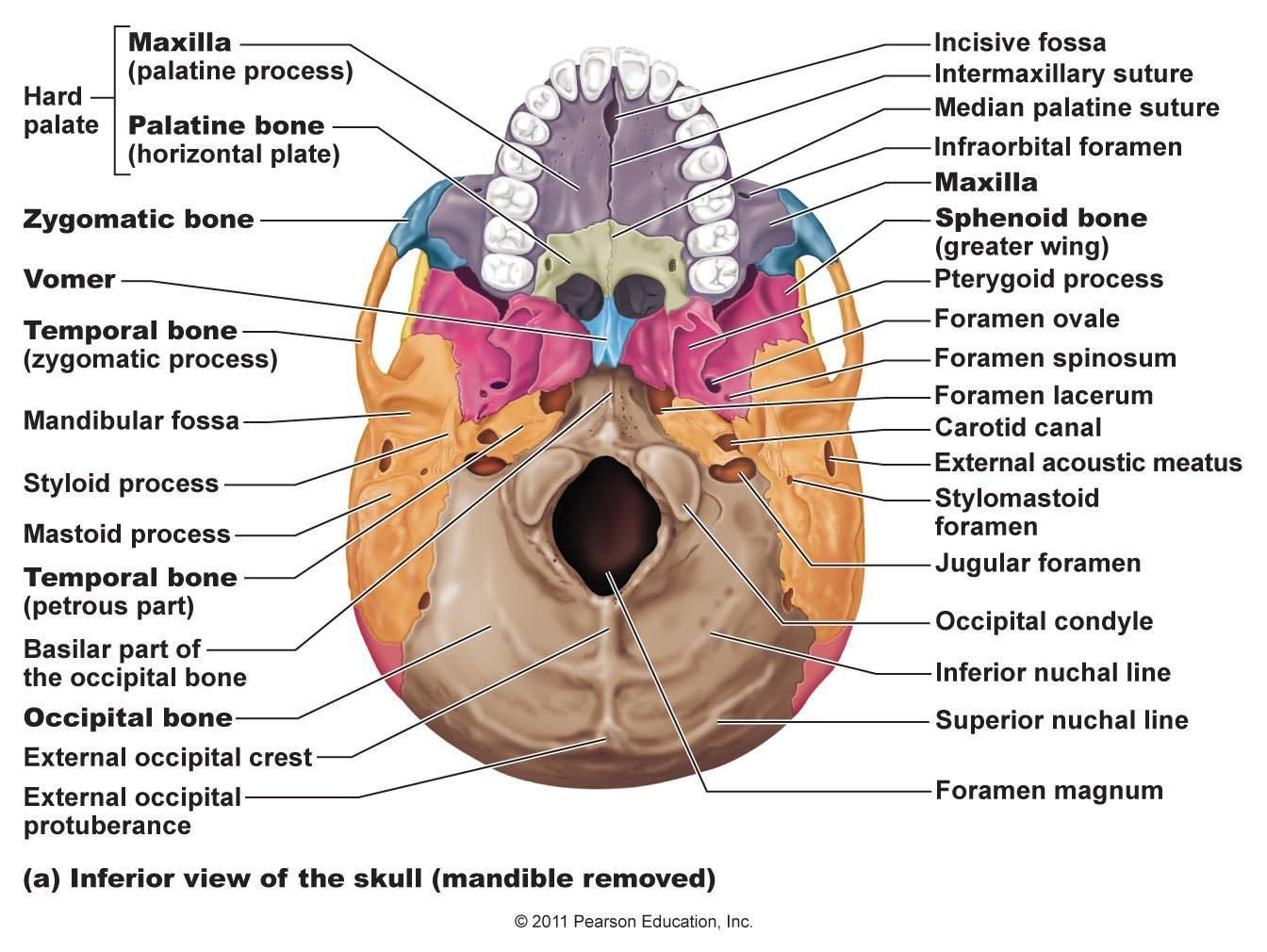 face bone diagram extension cord reel skeletal bones from head to toe palatine 2