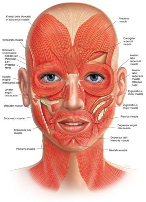 Best 25 Facial muscles ideas on Pinterest | Facial