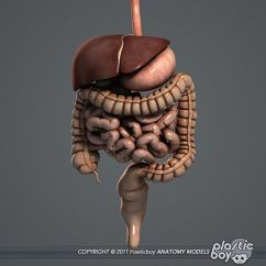 Squid Internal Anatomy Diagram Sub Amp Wiring Human Digestive System 3d Model | Independent Study Pinterest ...