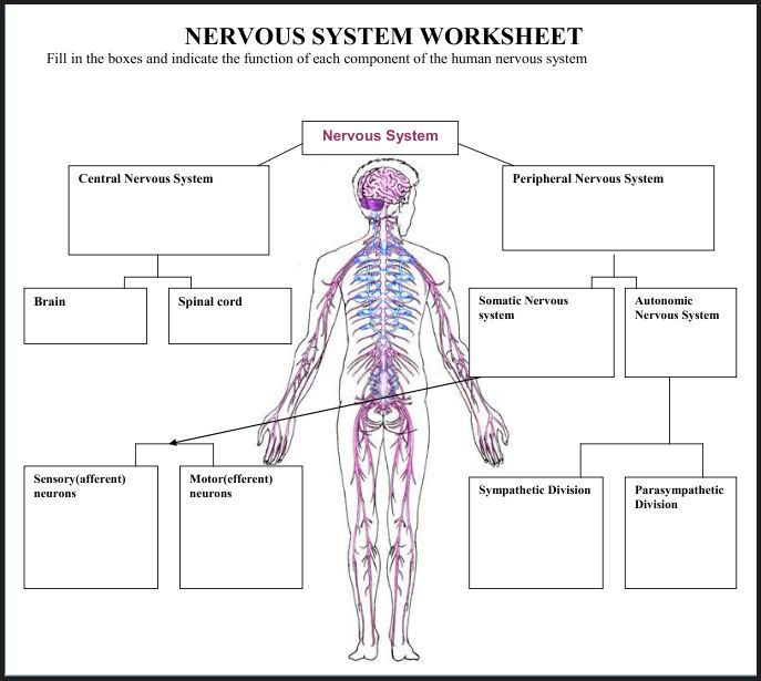 nervous system fill in the blank diagram four way switch wiring multiple lights a variety of materials for 3rd-12th grades! download club members can @ http://www ...