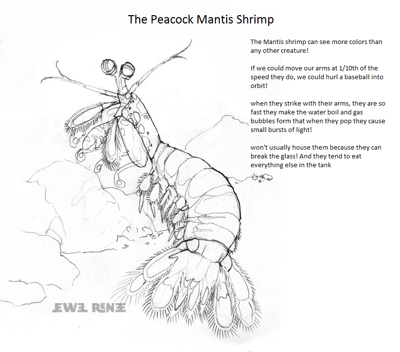 coloring page and info for mantis shrimp-pool day. going