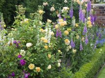 English Roses are some of the best-loved, high-performance ...