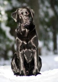 A black Lab sitting in the snow. Wow, what a beautiful ...