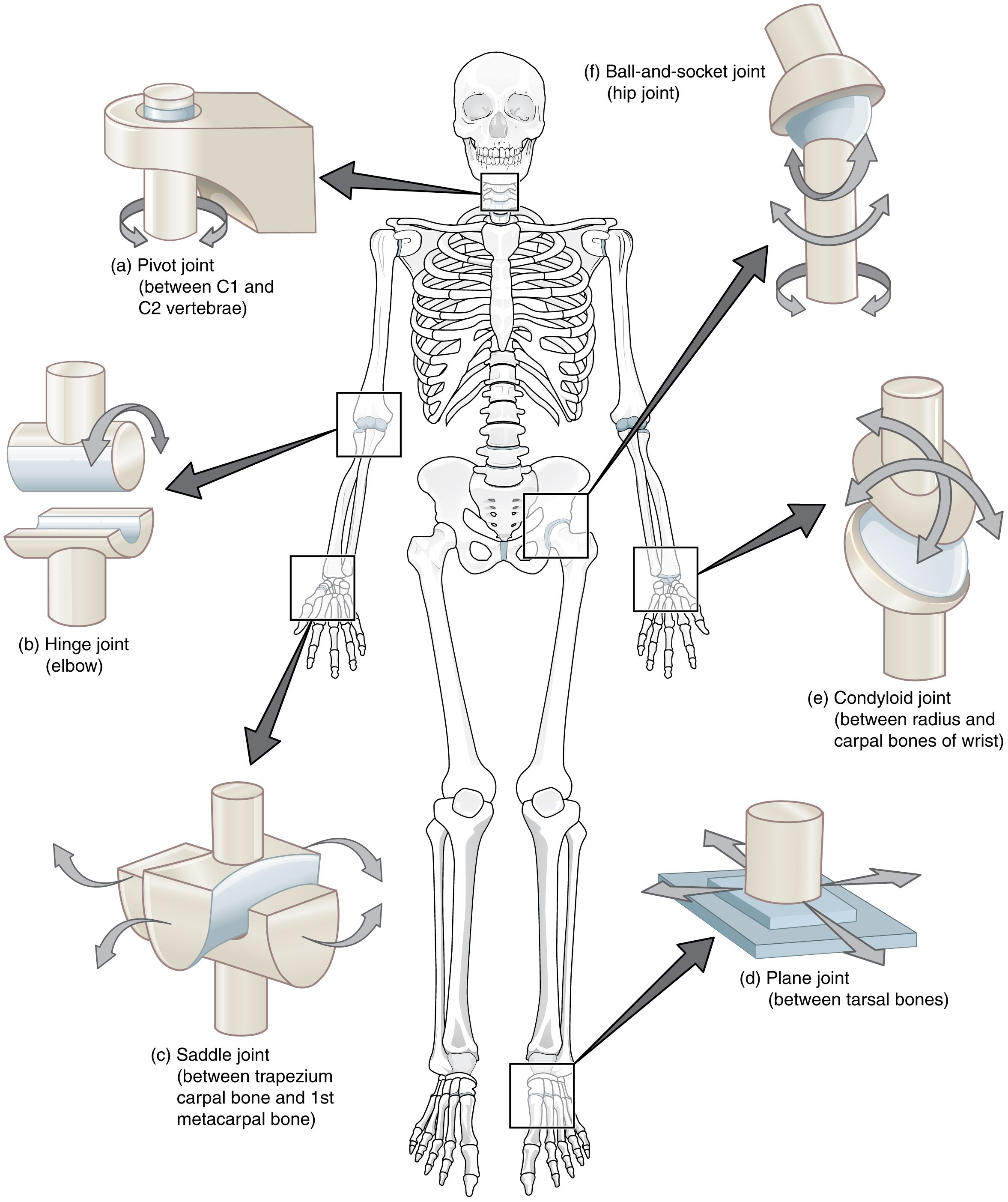 This Composite Image Shows The Different Types Of Synovial