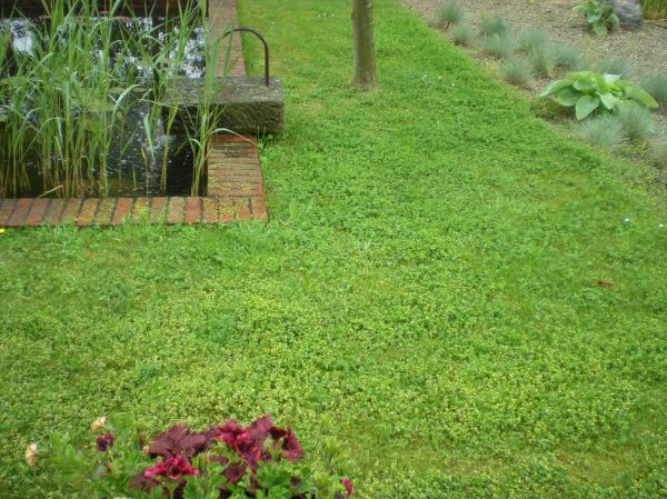 clover and creeping thyme