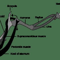 Chicken Skeleton Diagram Sunl 150 Atv Wiring Wishbone Anatomy Google Search Places To Visit