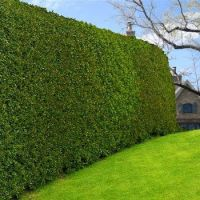 Variegated Privet | Green walls, Screens and Walls