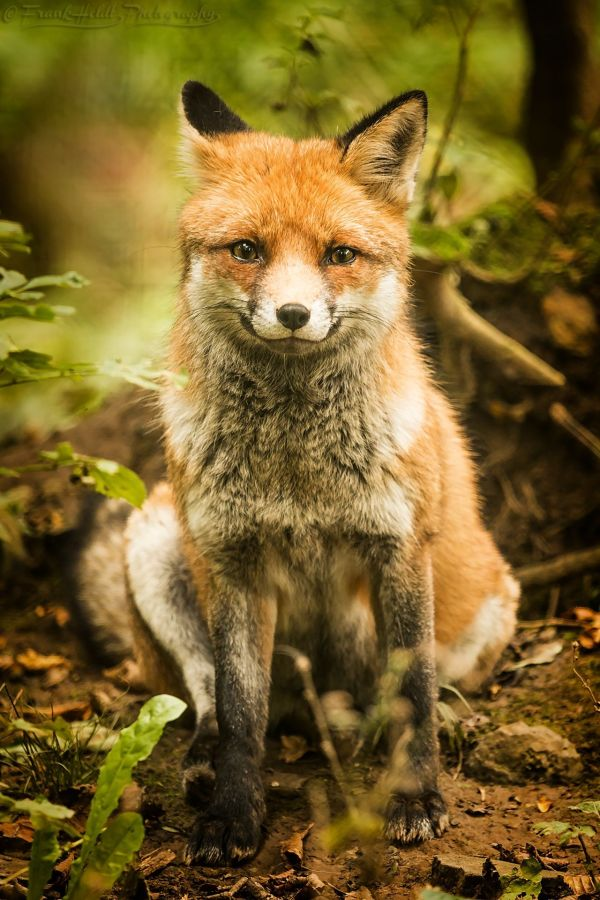 Smiling Frank Heldt 500px Foxie Foxes And Animal Ideas