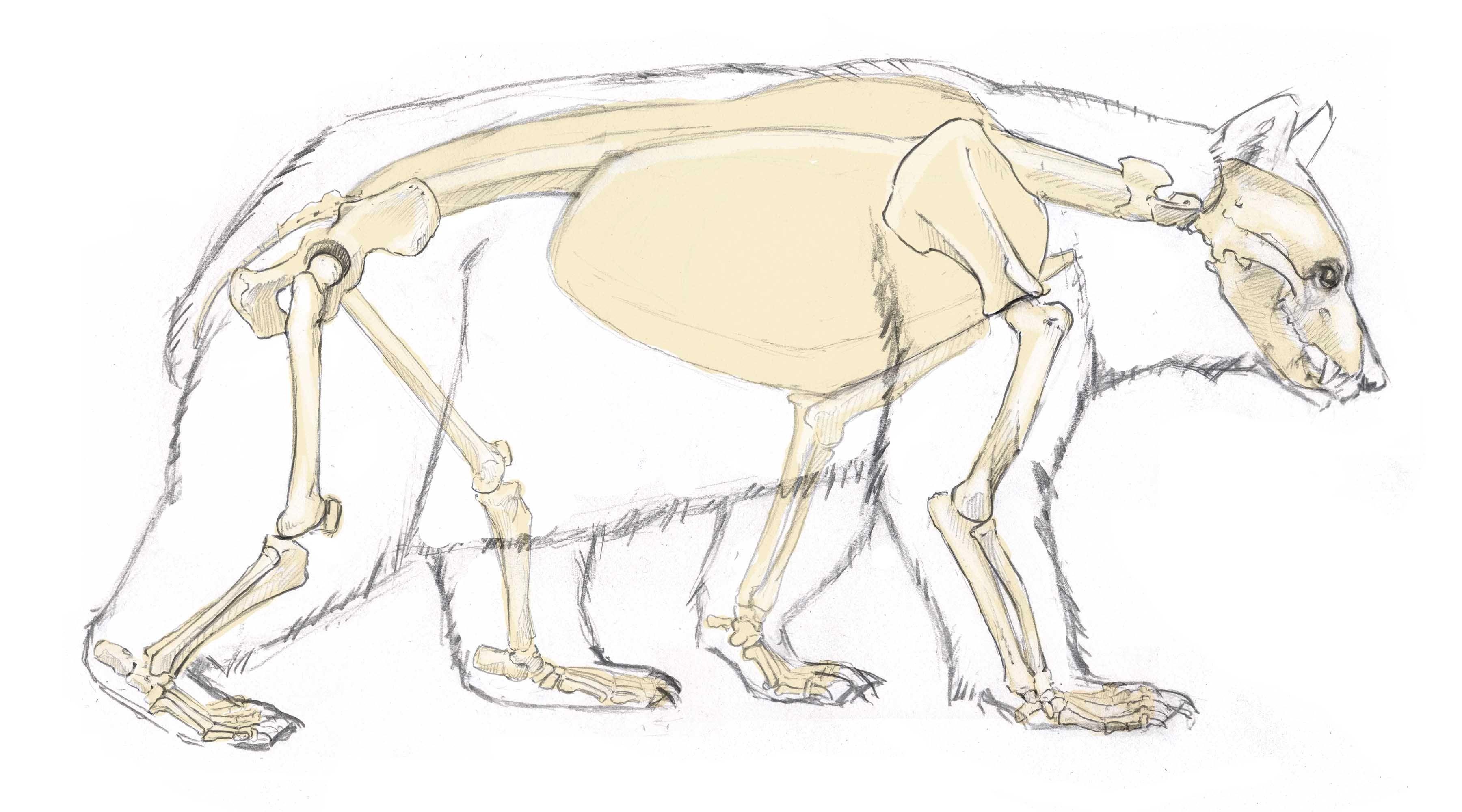 bear skull diagram 1993 chevrolet pickup wiring anatomy google search animals pinterest
