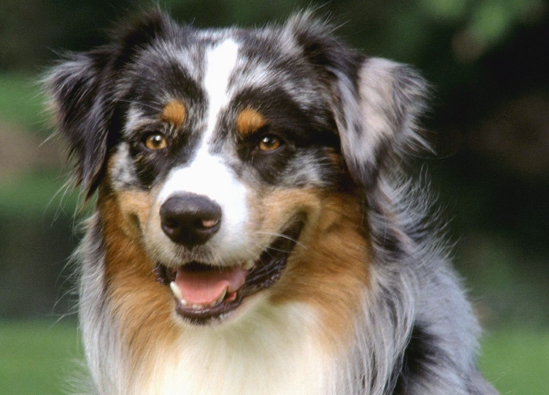 97 best australian shepherd dog images on pinterest   dog photos