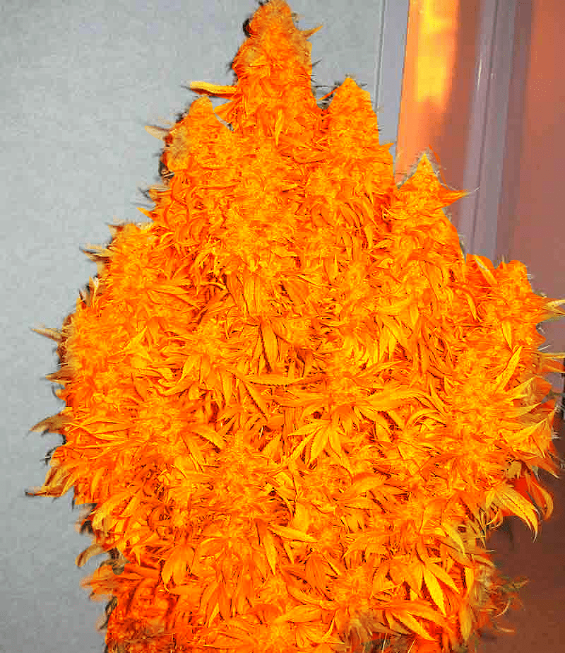 Cannabis Iphone Wallpaper Orange Marijuana