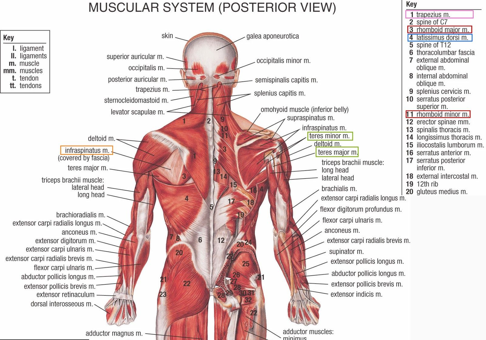 Human Amp Animal Anatomy And Physiology Diagrams Lower Back Anatomy Muscles