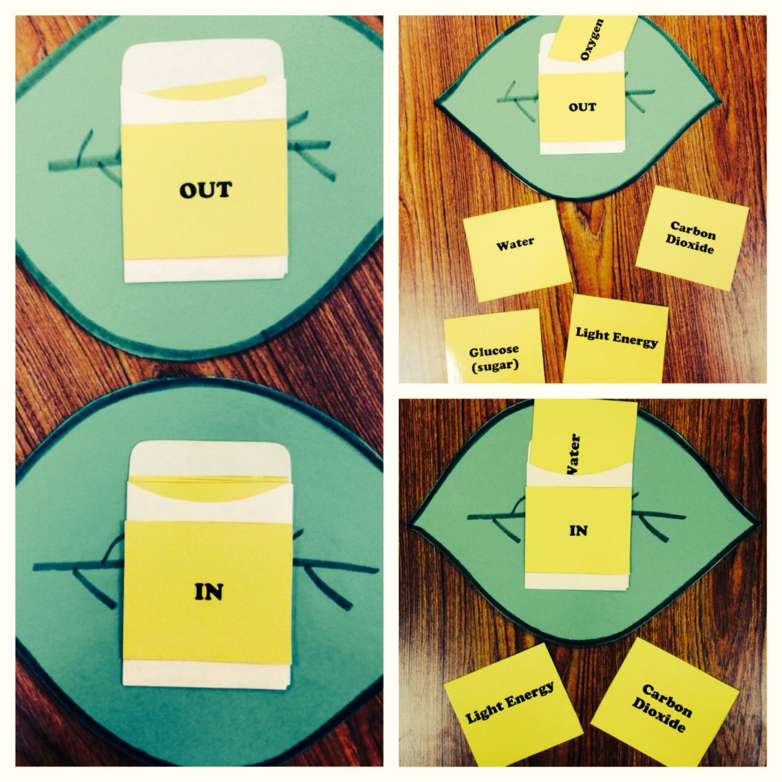 Photosynthesis Activity Leaf With In And Out Envelopes On Front And Back Students Sort The