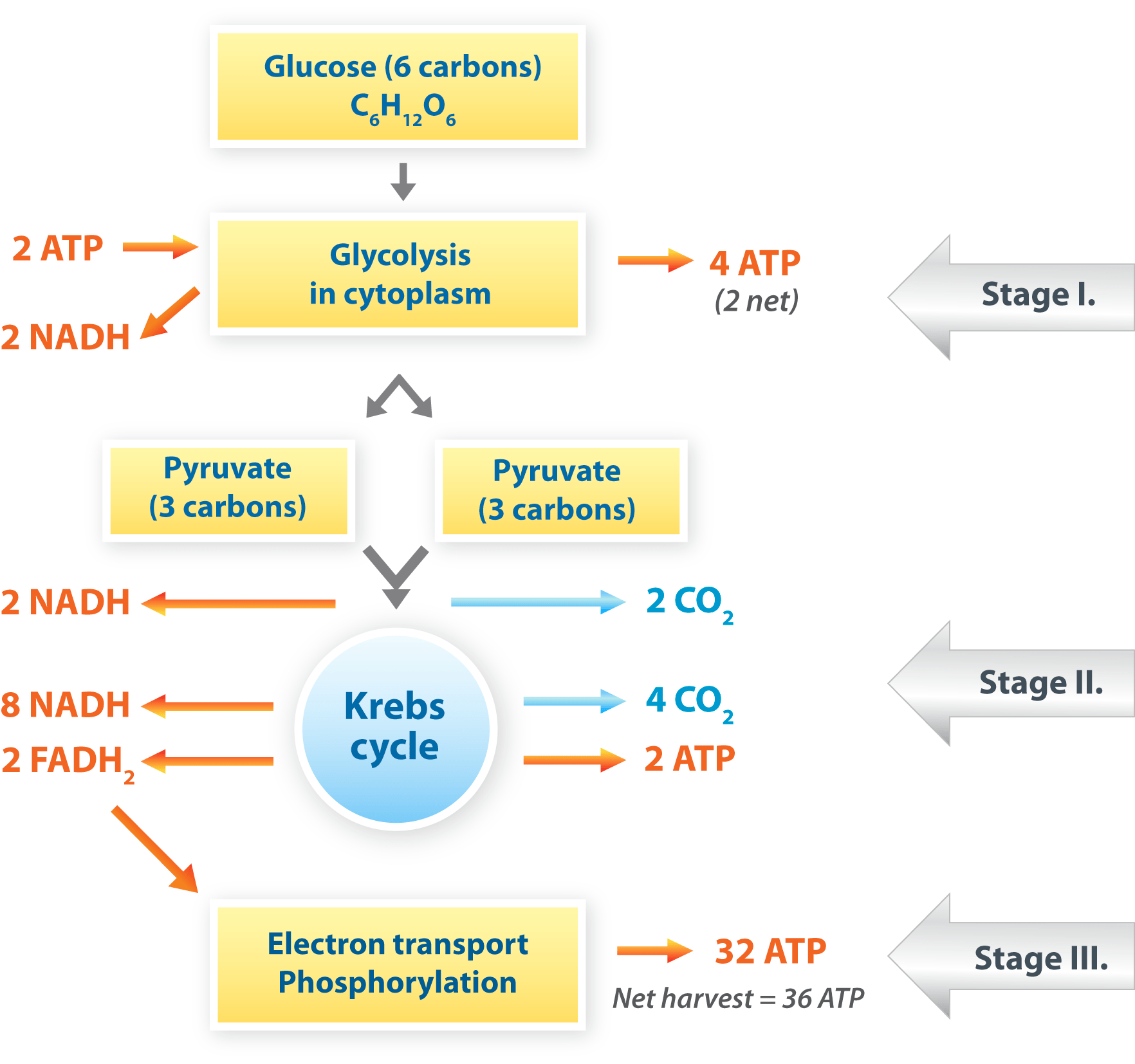 Cellular Respiration The Process By Which The Chemical