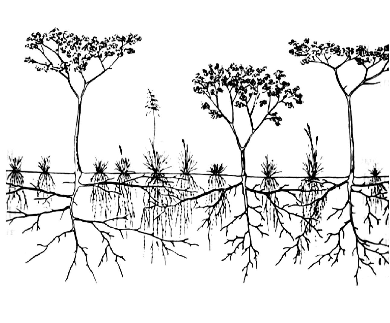 Representation Of Herbaceous Shallow Fibrous Root System